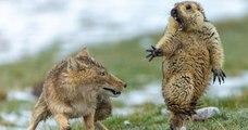 L'image de cette marmotte terrifiée par un renard élue meilleure photo animalière de l'année