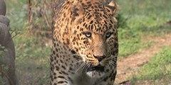 Este leopardo se acerca sigilosamente a un perro que duerme delante de su casa, lo trinca y casi se lo merienda