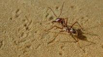 Así es la hormiga más rápida del mundo que vivie en el norte del Sahara