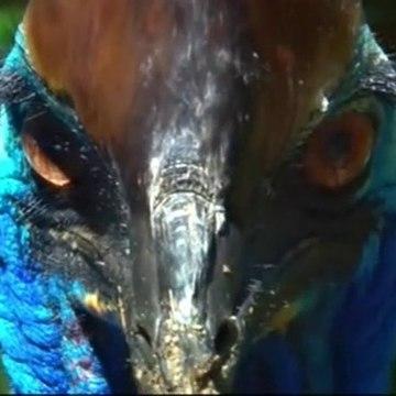 David Attenborough || BBC TWO Natural WORLD - Cassowaries