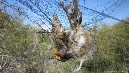 تصيُّد صيادي الطيور المغردة المهددة بالانقراض في قبرص
