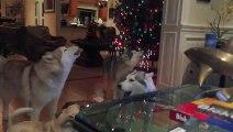 Quand tous tes chiens hurlent pour chanter en même temps
