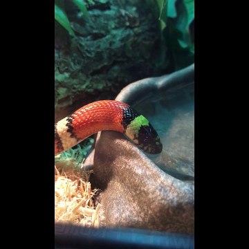 Milk snake's neck pulsates in bizarre way when drinking water