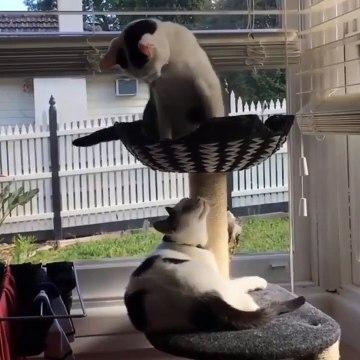 Morning Cat Battle, Archie vs Squeak