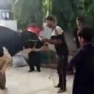 EID UL ADHA 2019 - BAKRA EID PAKISTAN Beautiful Bulls For Qurbani 2019 In Karachi