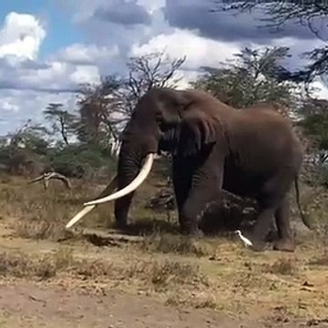 Tuskers only