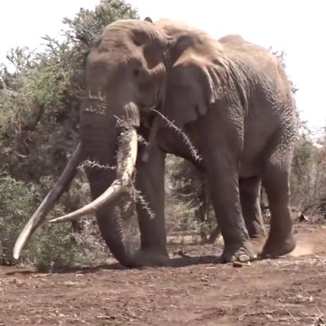 Top 10 tuskers in the world