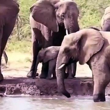 Amazing Elephant Rescue Crocodile From Hippo   Elephants rescue Elephants from Animal Attack
