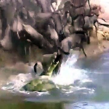 Amazing Hippo Save Wildebeest From Crocodile Hunting   Animals Hero   Animals save another animal