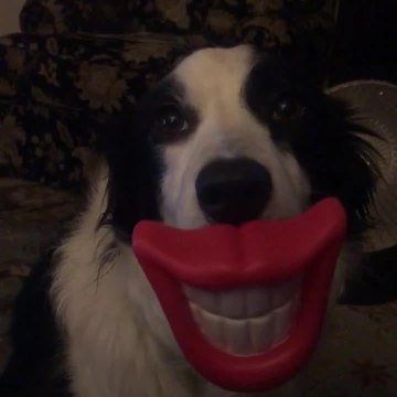 Border Collie Poses Wearing a Funny Smile Mask