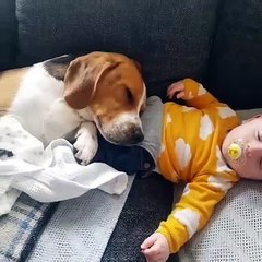 Beagle Gently Rests Head on Top of Sleeping Toddler