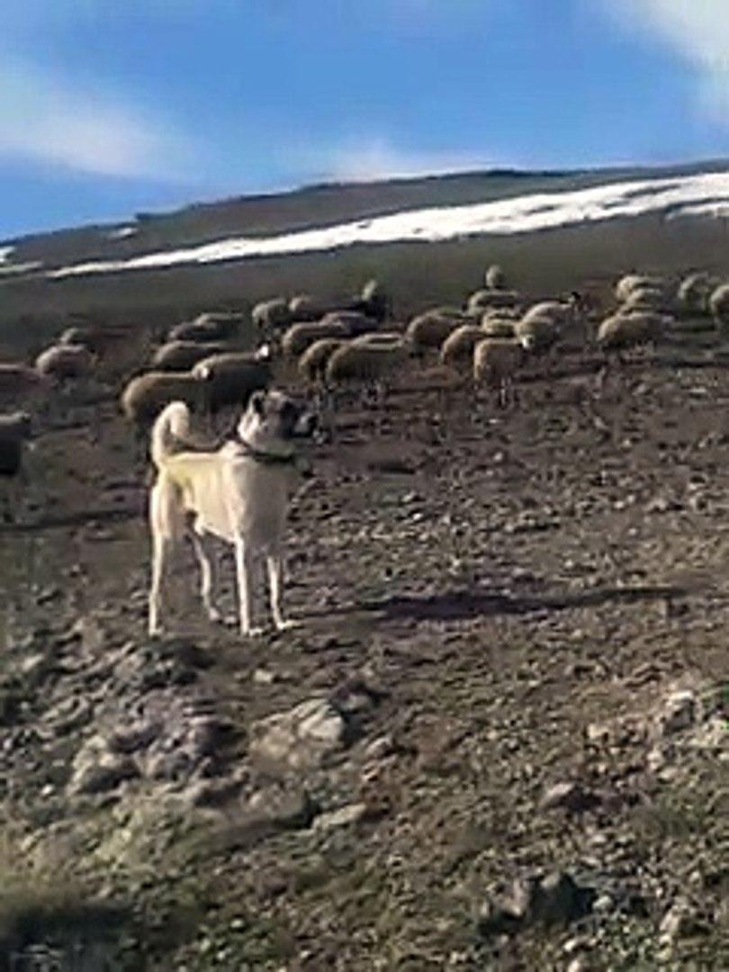 ANADOLU COBAN KOPEGi ALA GOREV BASINDA - ANATOLiAN SHEPHERD DOG MiSSiON