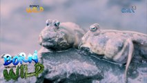 Born to Be Wild: Discovering 'tustusak' or mudskipper in the city