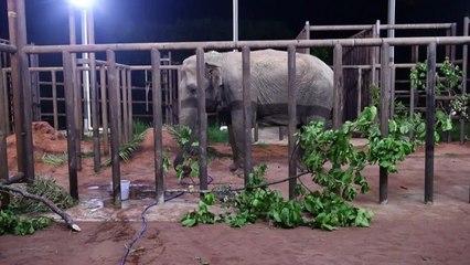 de Ramba, una elefante rescatada de un circo, llega a un santuario en Brasil