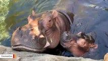 Watch: Hippo Fiona Gives Mom A Raspberry Kiss