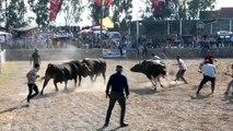 """Muğla'da """"4. Boğa Güreşleri Festivali"""""""