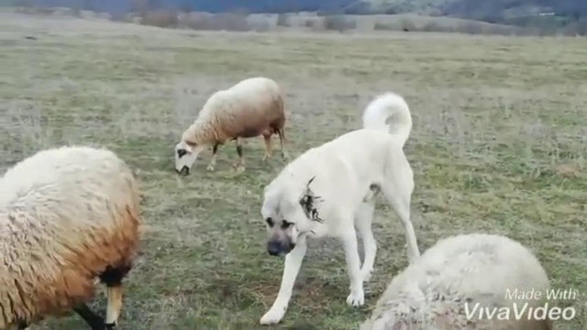 SiVAS KANGAL KOPEGi KOYUN NOBETi GOREVi BASINDA - KANGAL DOG SHEEP WATCH