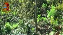 Casagiove (CE) - Coltivano marijuana in un terreno, arrestati due ventenni (22.10.19)