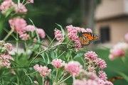 Extra-Large Migration of Monarch Butterflies Fluttering Through Texas