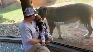 Cette lionne veut caresser un bébé à travers la vitre du Zoo !