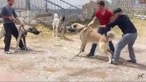 2 SiVAS KANGAL KOPEGi KARSILASMASI ve ATISMASI - KANGAL DOG and KANGAL DOG vs