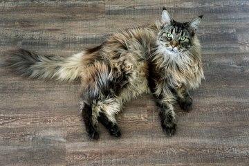 Die größten Katzenrassen