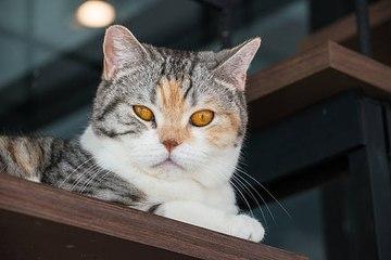 Die Katzenrasse mit den wenigsten Gesundheitsproblemen