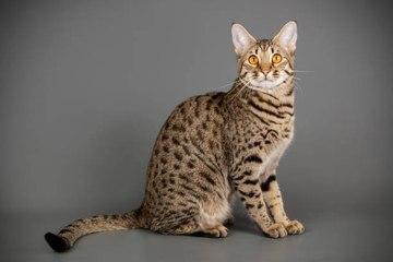10 Katzenrassen wilden Ursprungs