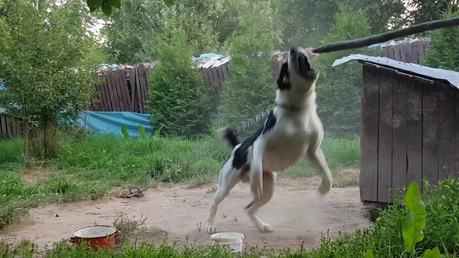 COK COK SERT ADAMCI ALABAY SOPAYI KIRIYOR - VERY VERY ANGRY ALABAi SHEPHERD DOG