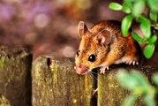 Rüyada fare görmek ne anlama gelir?