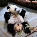 Surpris, la réaction de ce panda vaut de l'or. Un spectacle adorable !