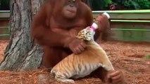 Orangutan Adopts 3 Tiger Babies   Oneindia Malayalam