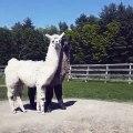 Ces deux la sont inséparables ! Un lama c'est déjà terriblement adorable, mais deux lamas c'est encore plus adorable. Ils n'arrêtent pas de se faire des câlins ! Mignon !