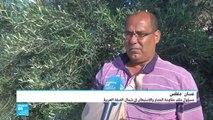 الضفة الغربية.. اعتداءات المستوطنين تزداد في موسم جني الزيتون