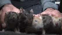 Peruvian 'RAT MAN' shares home and food with dozens of rodents