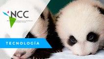 Osa panda dio a luz a gemelos en un zoológico en Berlín