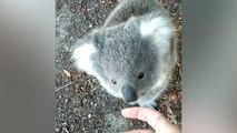 Un adorable petit koala en manque d'amour