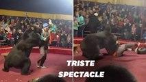 Un ours de cirque attaque un dresseur russe en plein spectacle