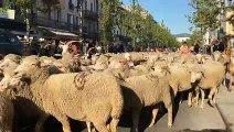 La transhumance passe dans Draguignan