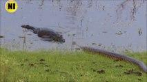 Rencontre incroyable entre un crocodile et un anaconda
