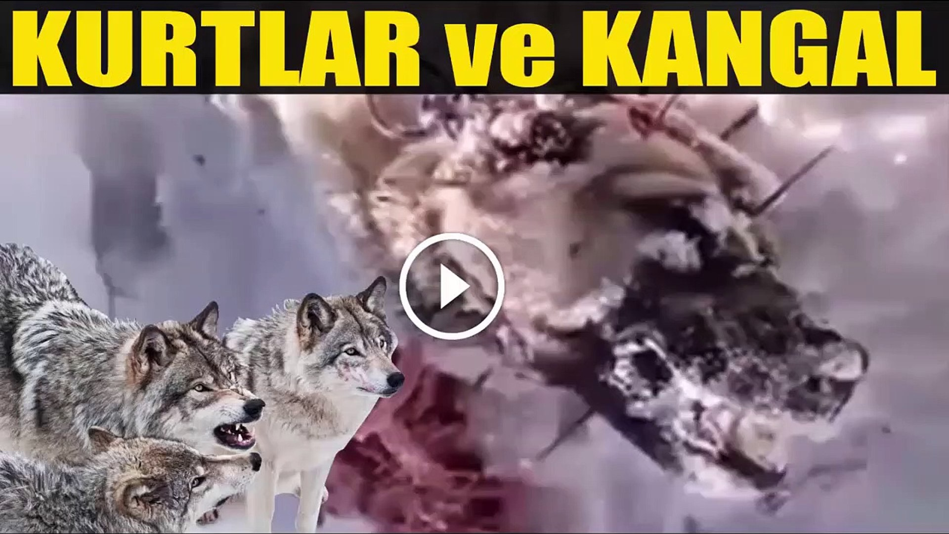 KURTLARIN VE SİVAS KANGALIN KARSILASMASI - WoLViES vs SiVAS KANGAL