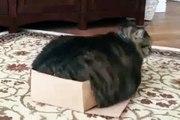 Une manie des plus étranges ! Ce chat adore rentrer dans les boîtes trop petites pour lui