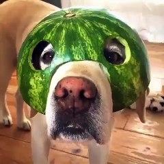 Décidément, ce chien aime avoir de la nourriture sur la tête