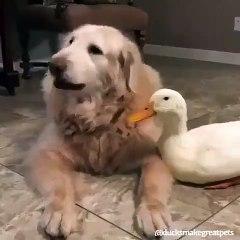 Inséparables : ce chien et ce canard s'entendent à merveille