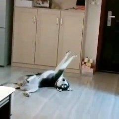 Ce chien joue mieux le mort qu'un acteur!