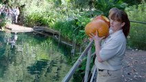 Go Big or Gourd Home – Animals Play with (and eat) Pumpkins
