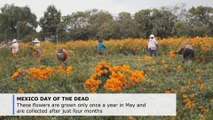 Mexican city lives off growing special marigolds for Day of the Dead