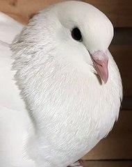Gros plan sur ce magnifique oiseau. Au-delà de son splendide plumage blanc, admirez ses yeux et son allure