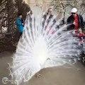 Paon Blanc magnifique