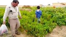 - Tel Abyad'da hasat başladı